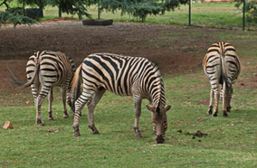 Get cheapest airfares to burchells zebra feed in Johannesburg zoo